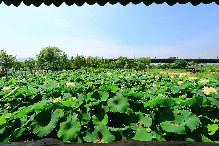 연잎이 가득 찬 연못