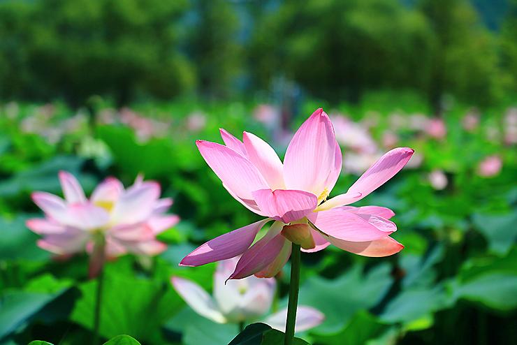 분홍색으로 핀 연꽃