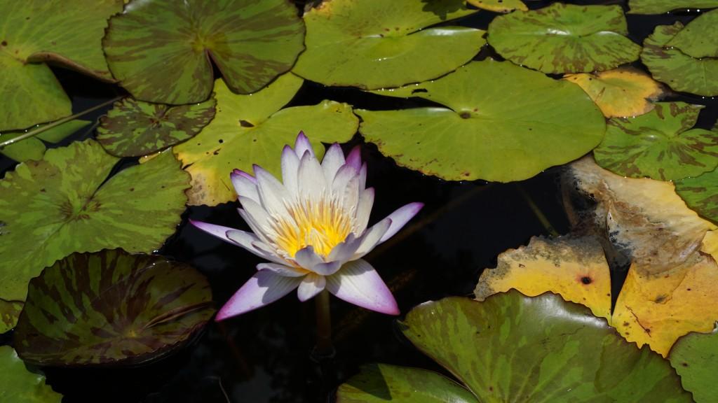 연못에서 자라는 연꽃