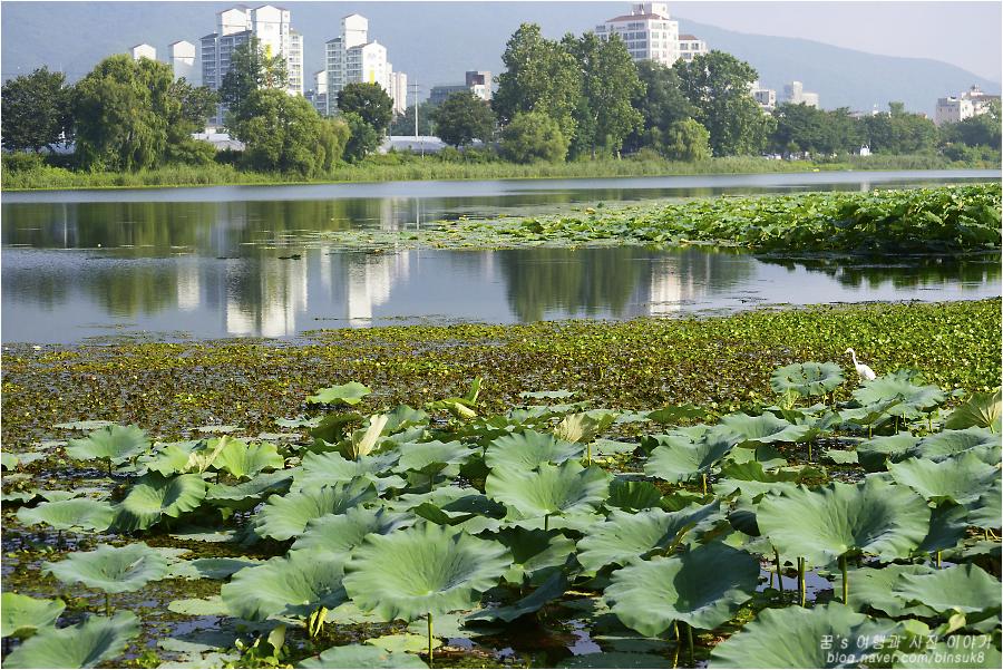 연못을 가득 채운 연잎들