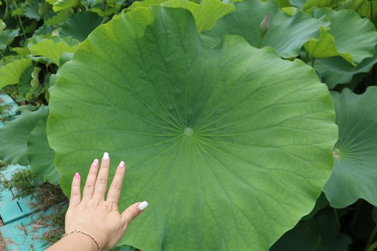 손이 작아보일만큼 큰 연잎