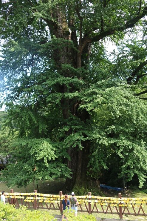 큰 은행나무