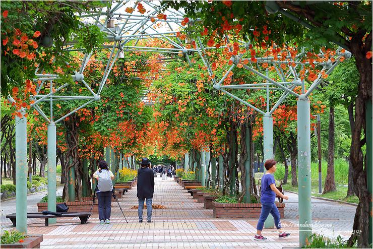 능소화 꽃 터널을 걷는 사람들