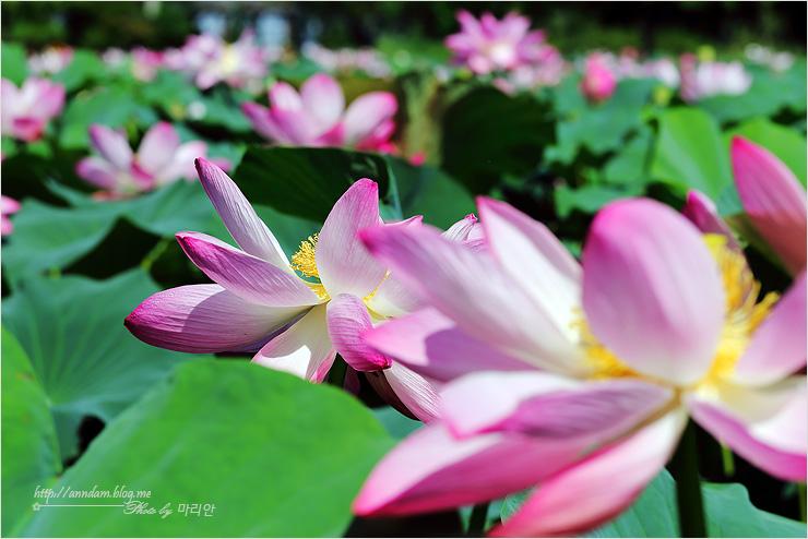 만개한 연꽃들