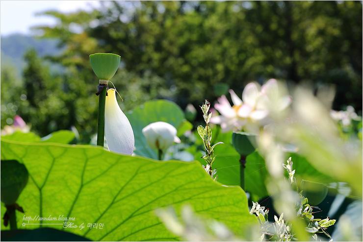꽃이 피기 전인 연밥 사진
