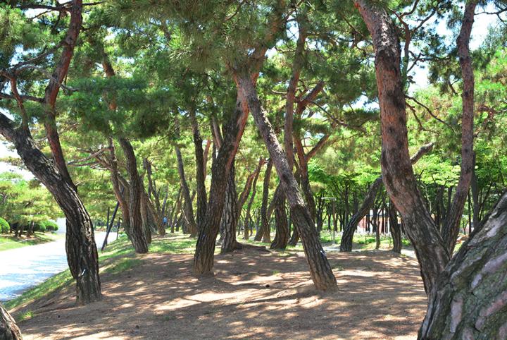 부천중앙공원 소나무숲