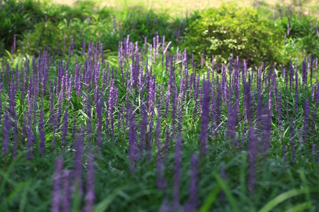맥문동 꽃밭
