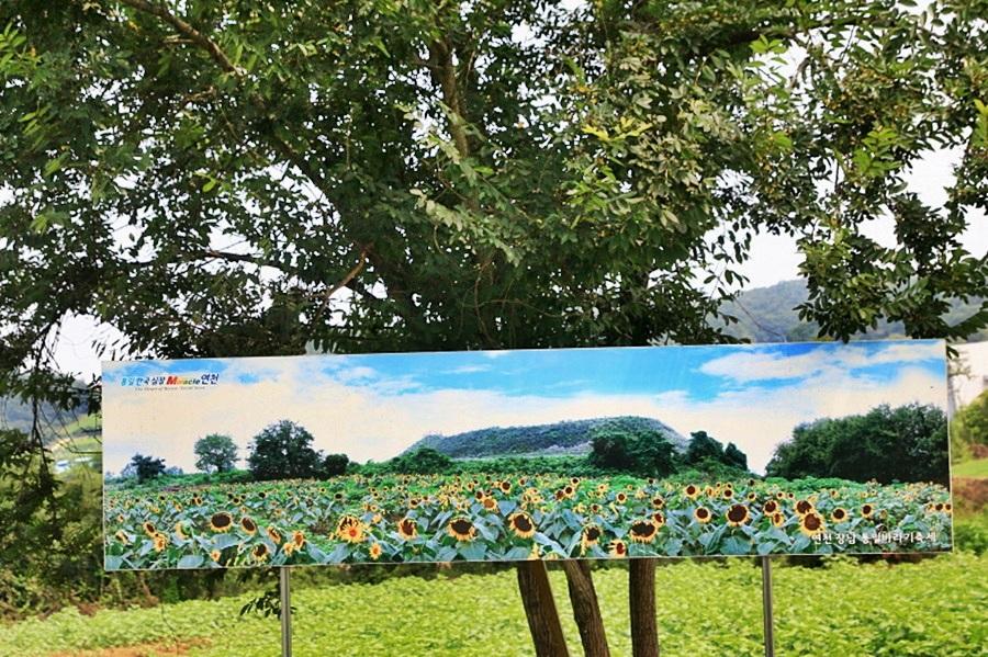 해바라기 꽃밭 사진
