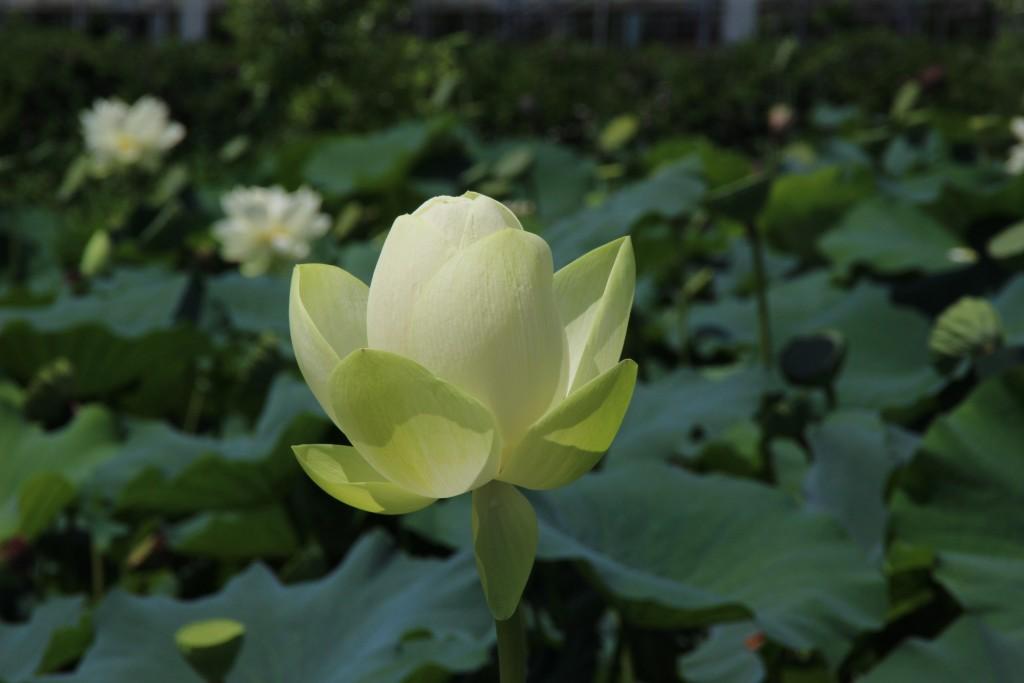 백련 꽃봉오리