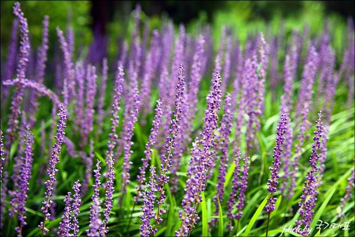 맥문동 꽃