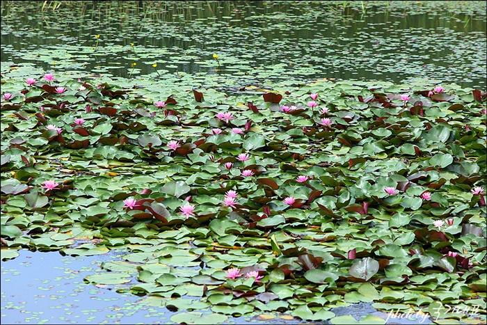 작은 연지에 옹기종기 피어 있는 수련꽃들