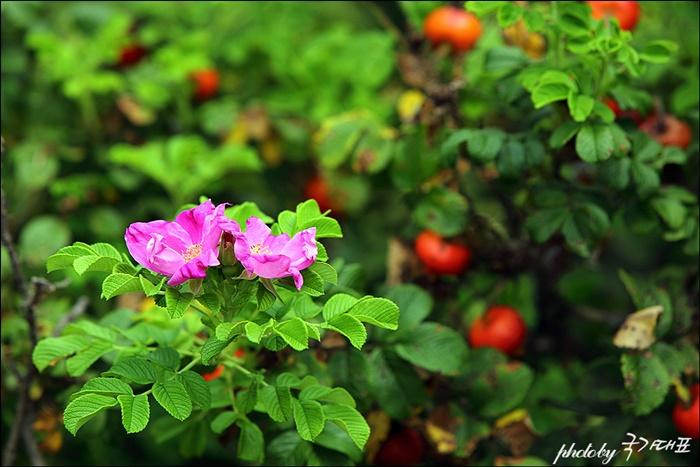 능소화 꽃