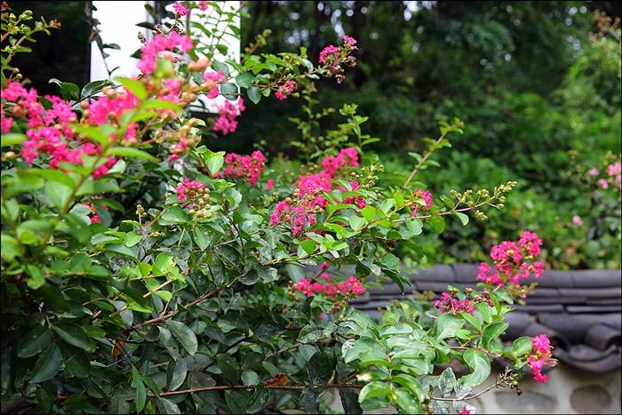 분홍빛으로 만개한 배롱나무꽃