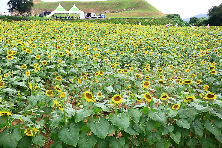 연천장남통일바라기 축제 해바라기 밭