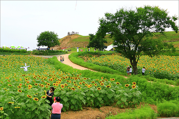 해바라기 꽃밭을 즐기는 시민들