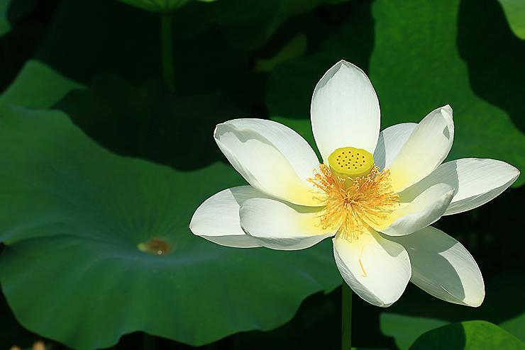 세미원의 연꽃