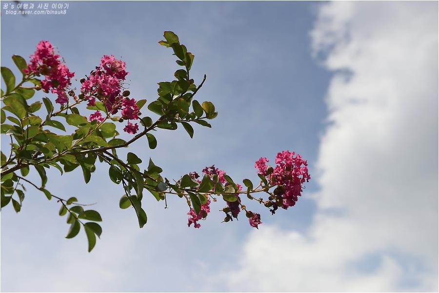 어린 배롱나무