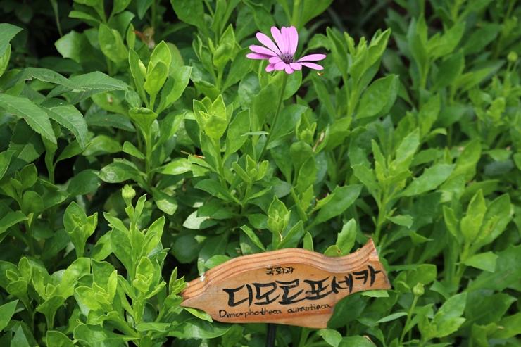 디모르포세카 꽃