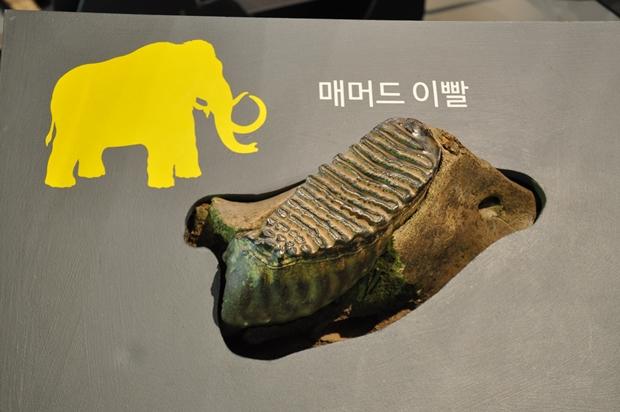 매머드 이빨 화석
