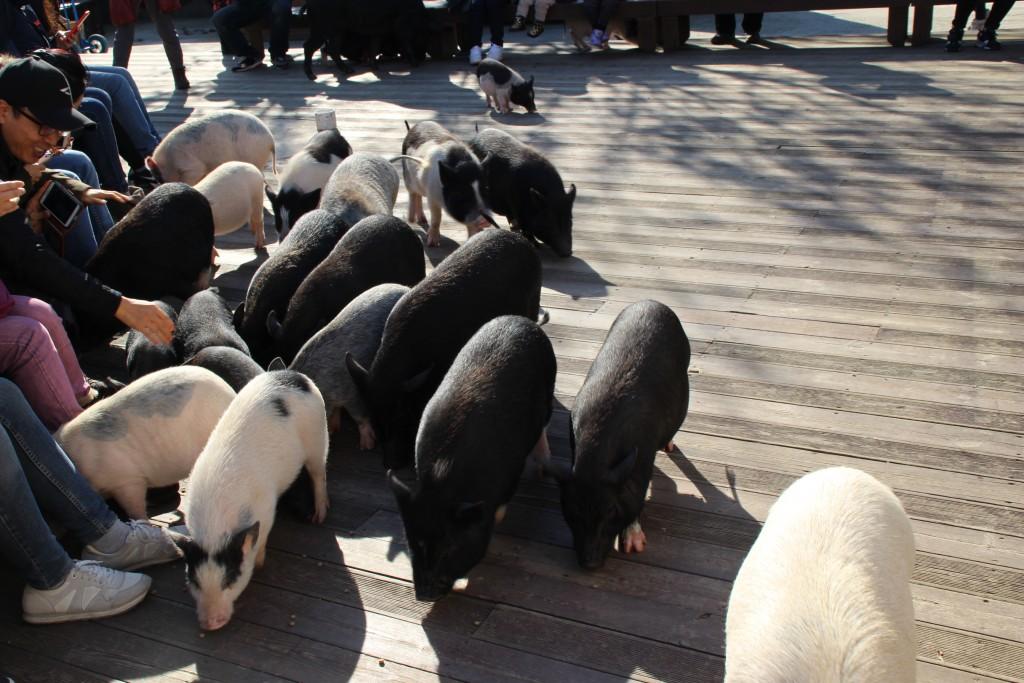 와우목장,돼지박물관 094