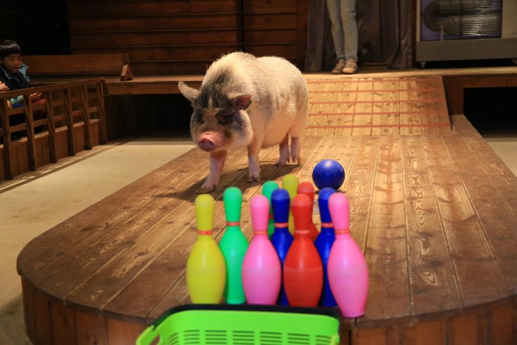 묘기부리는 돼지