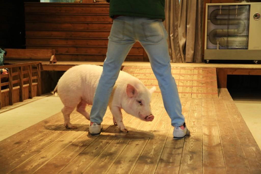공연중인 돼지