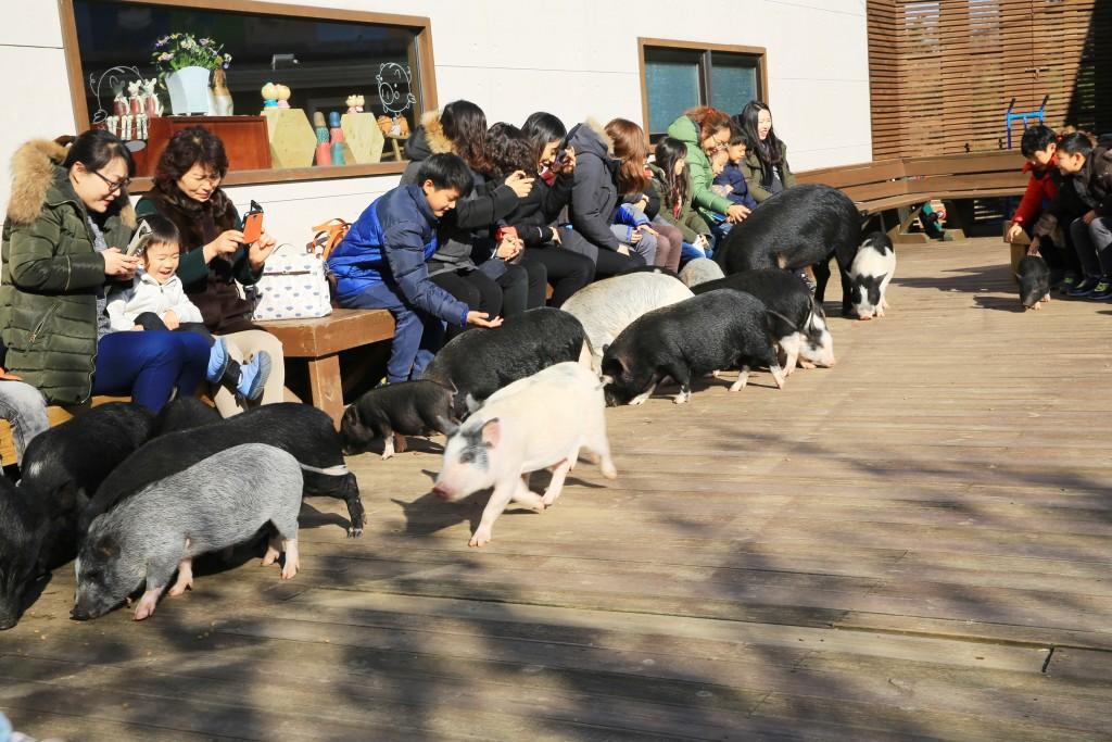 야외공연장 돼지들