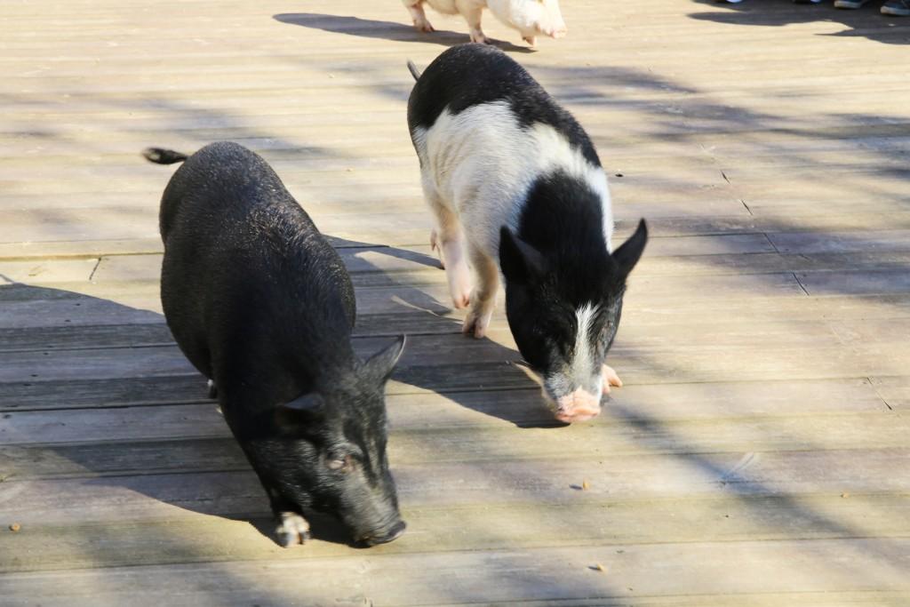 먹이먹는 돼지들
