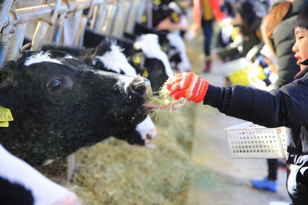 건초를 먹는 젖소