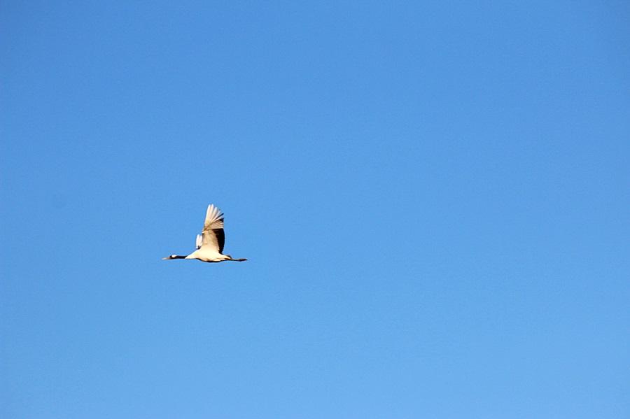 하늘을 나는 두루미