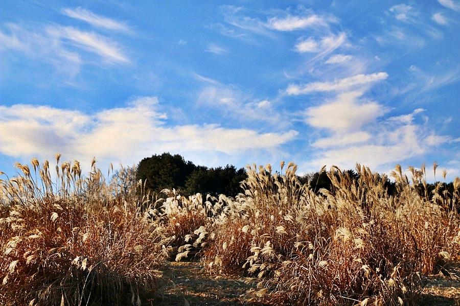 겨울갈대와 하늘
