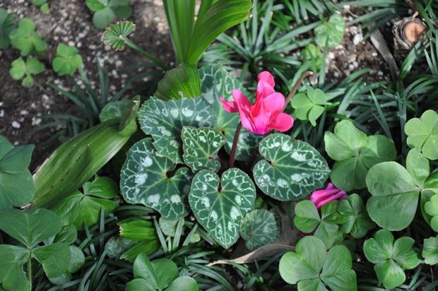 시클라멘 꽃
