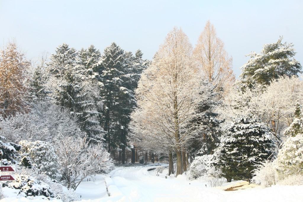국립수목원의 눈 쌓인 전나무숲