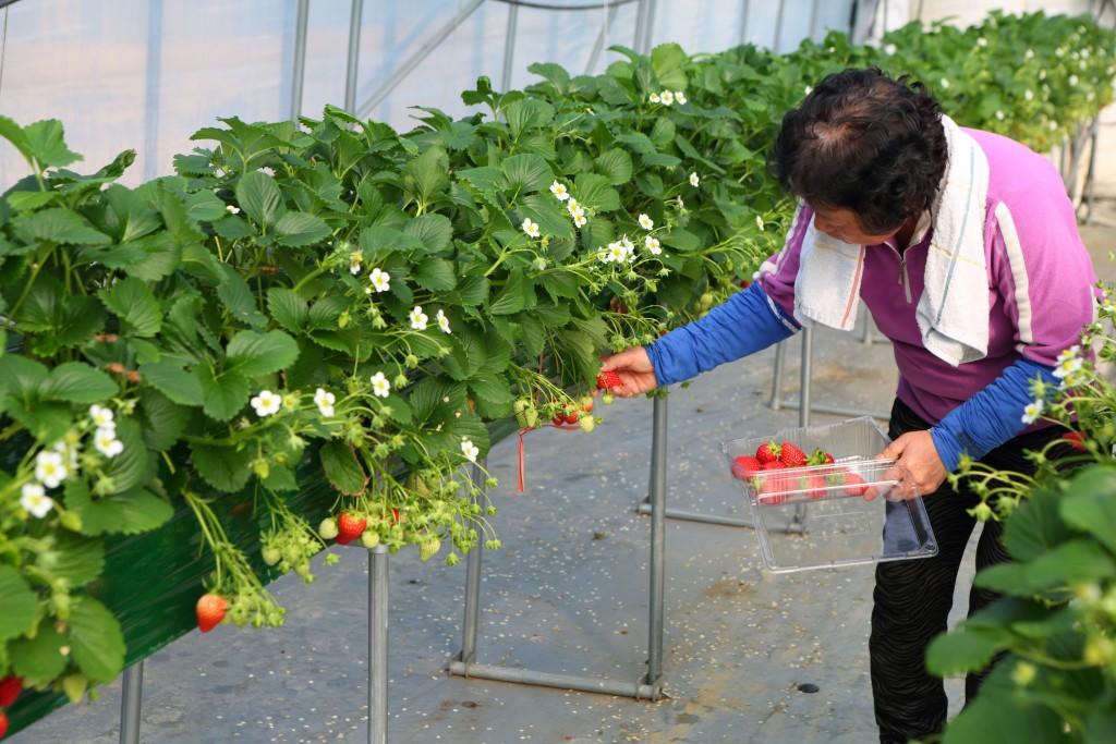 딸기 수확을 하시는 아주머니