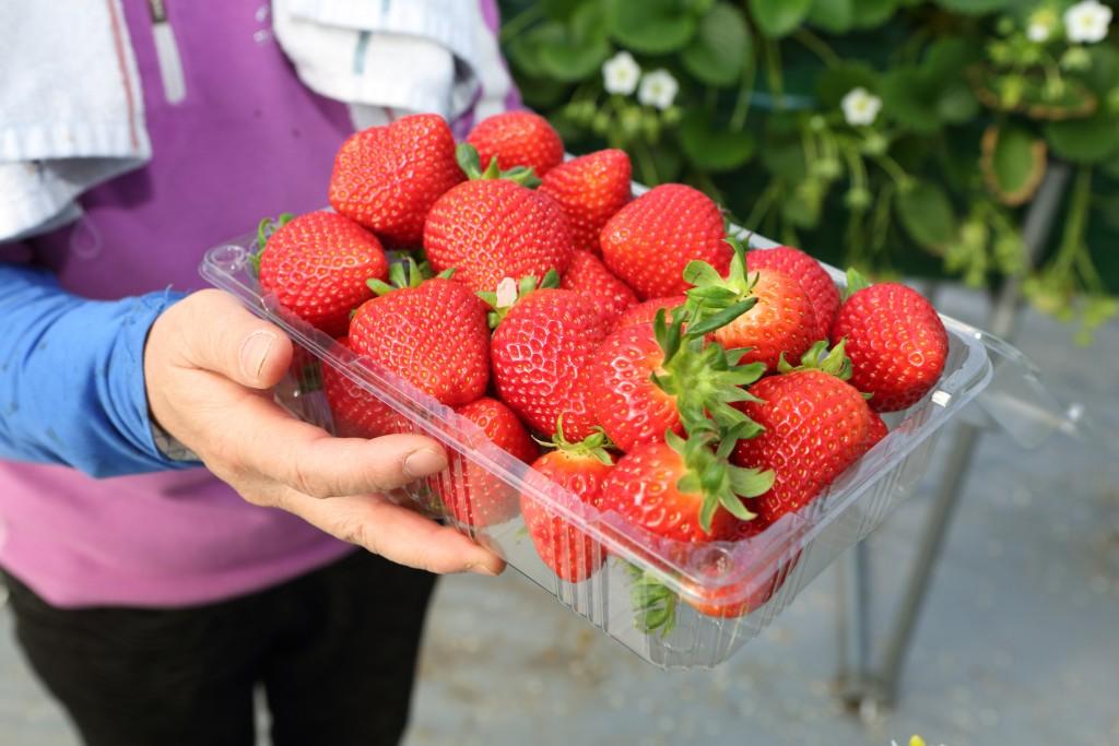 수확한 딸기