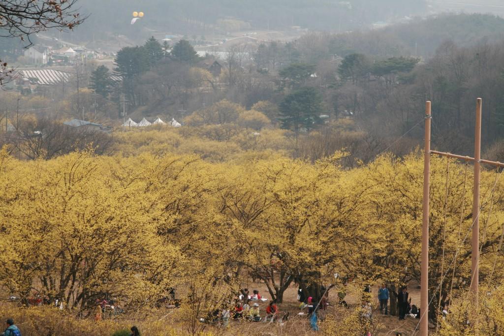 산수유꽃이 가득 핀 나무들