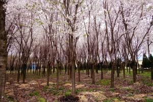 꾸메숲_벚나무숲