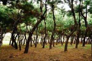 꾸메숲_소나무숲
