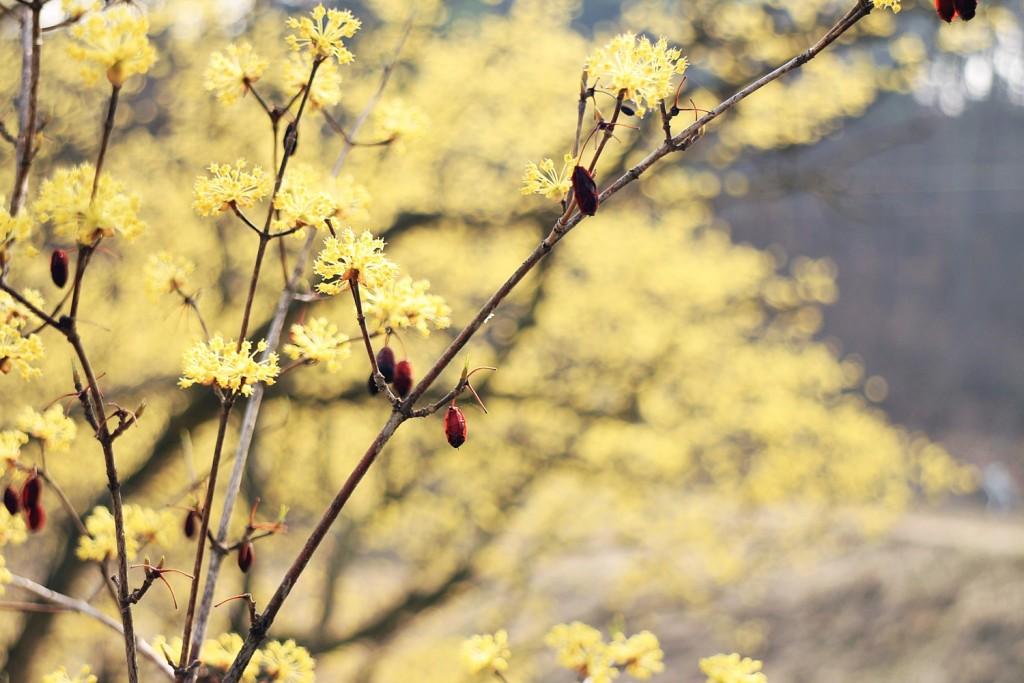 산수유꽃 (11)