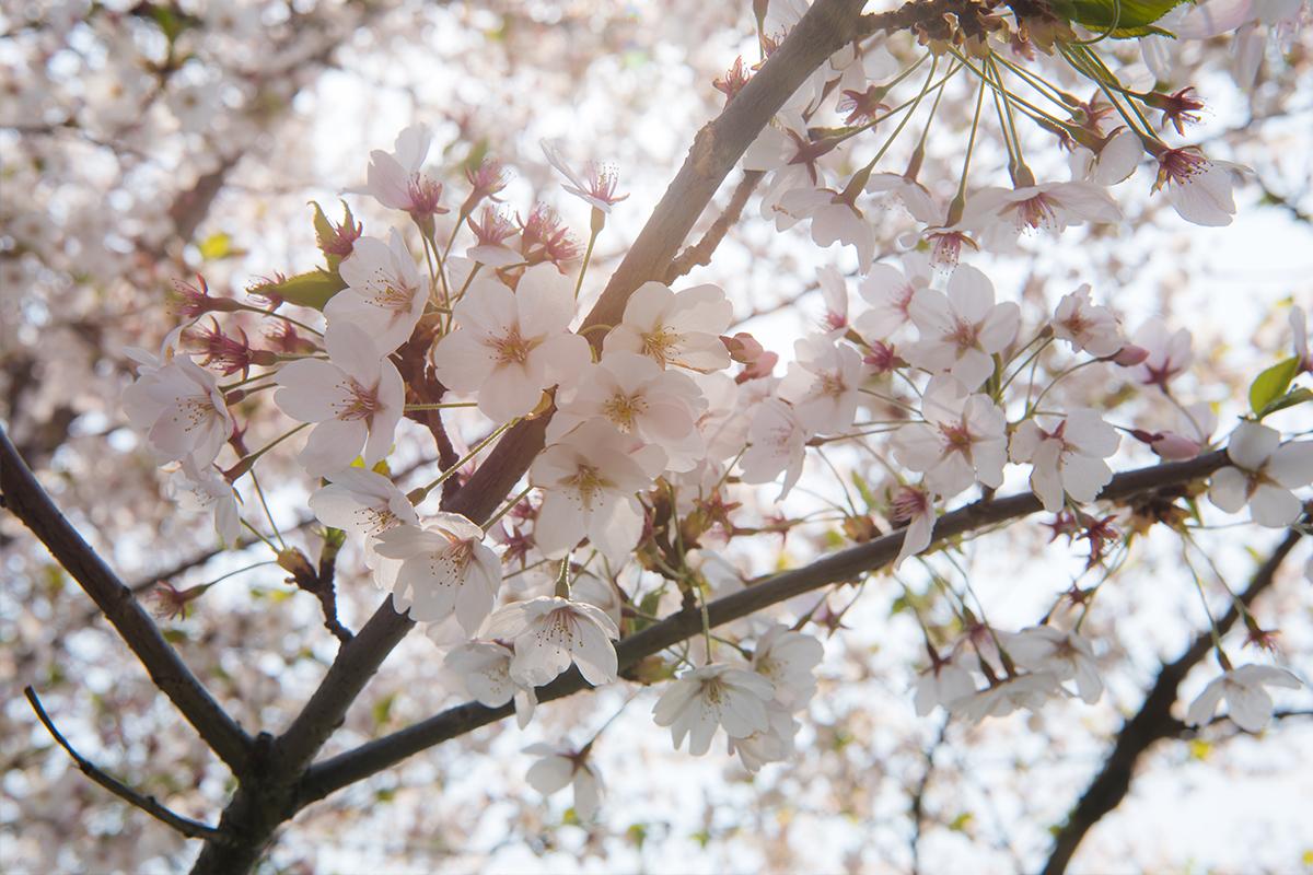 03 경기도청벚꽃길