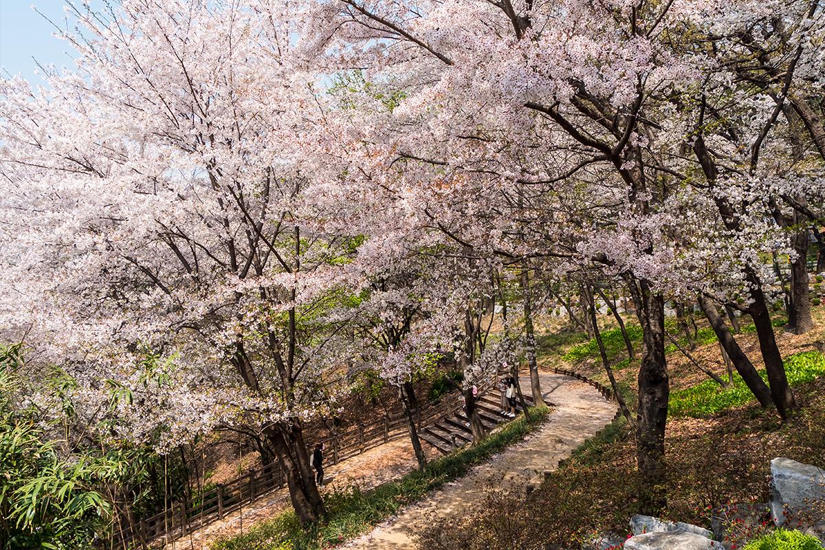 09 경기도청벚꽃길