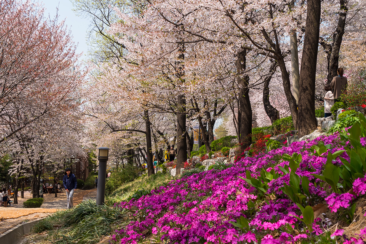 11 경기도청벚꽃길