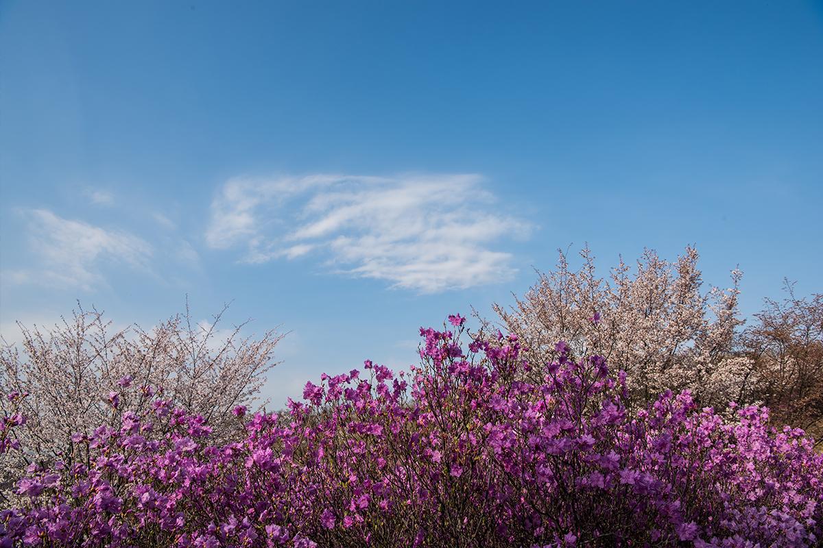 11 원미산진달래공원