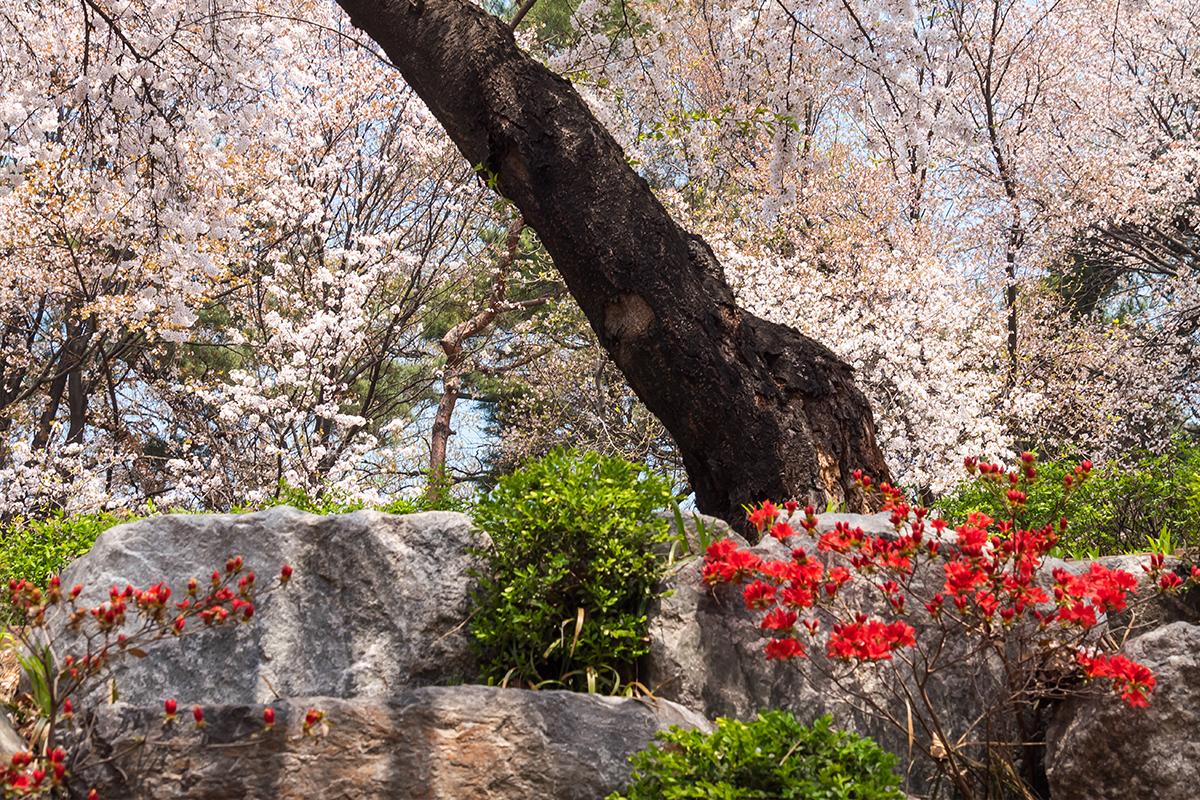 13 경기도청벚꽃길