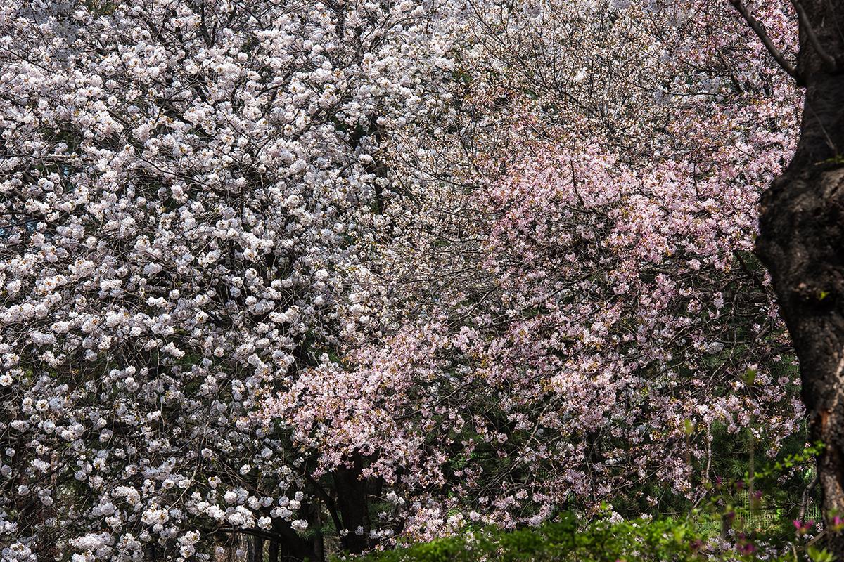 14 경기도청벚꽃길