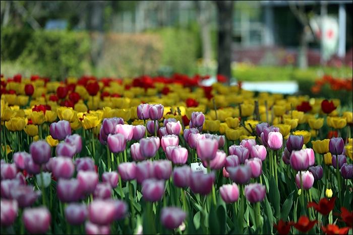 신구대식물원의 색색깔로 피어있는 튤립