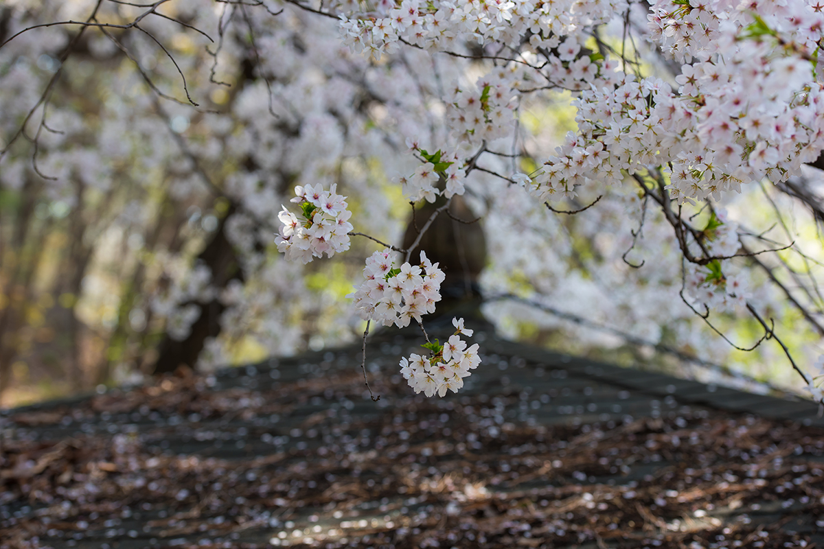 23 경기도청벚꽃길