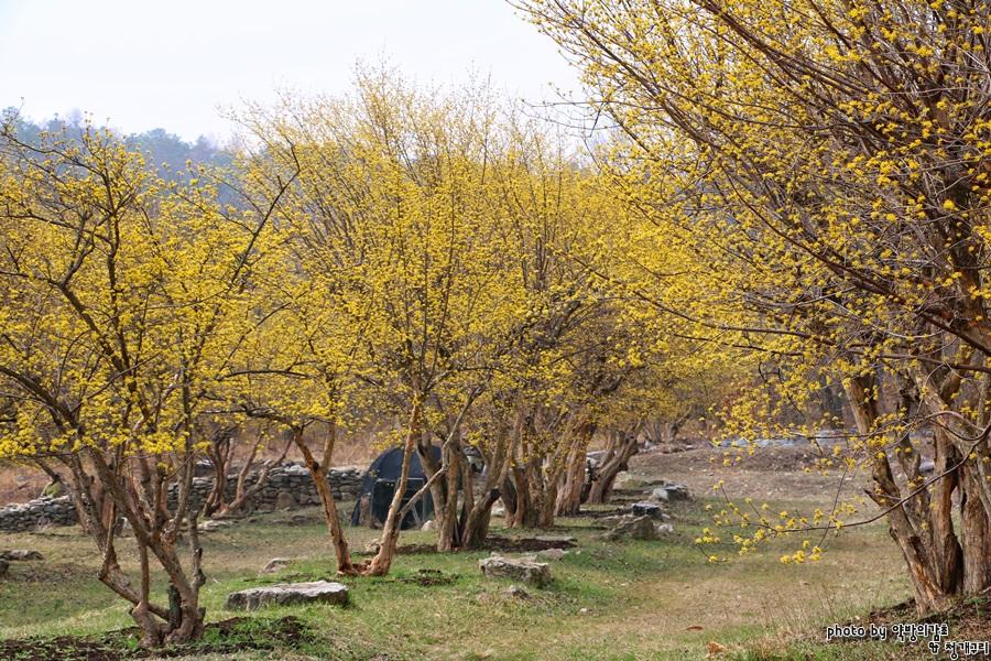 산수유꽃이 핀 나무들