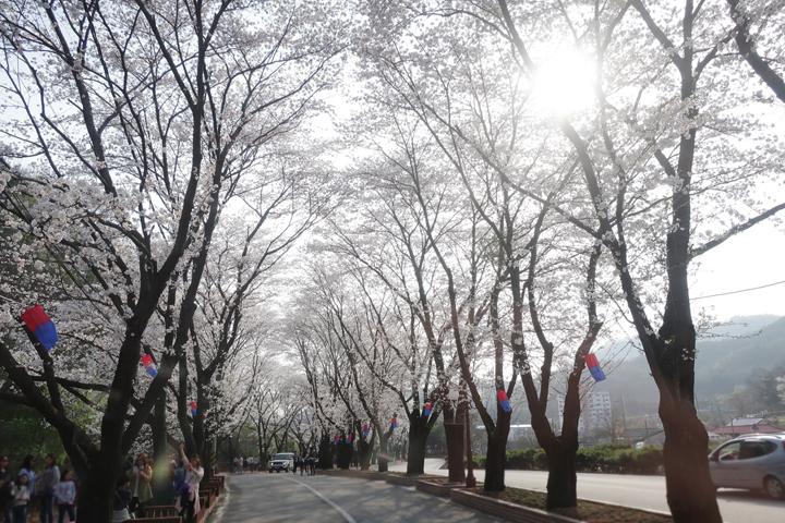 상천벚꽃길 풍경