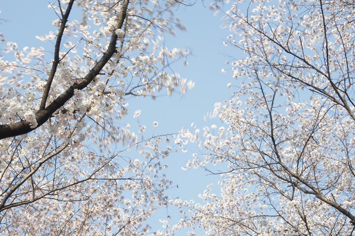 벚꽃과 하늘